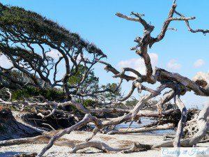 Driftwood Beach 3 auf Jekyll Island