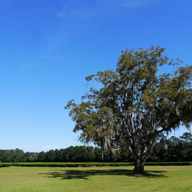 Teefeld auf der Charleston Tee Plantage