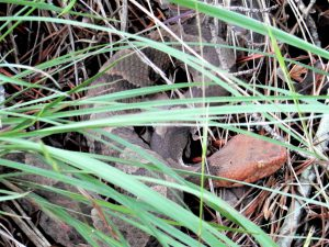 Copperhead at Daniel Boone National Forest