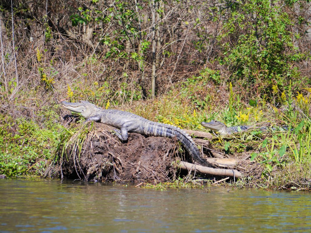 Alligator at Honey Swamp