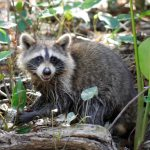 Racoon at the Honey Island Swamp