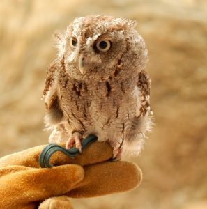 Little Owl sitting on handy